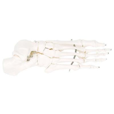 Squelette du pied sur fil de fer - 7 x 7 x 22cm - 3B Scientific