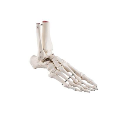 Squelette du pied avec moignon tibia et fibula (péroné), sur fil de fer, côté