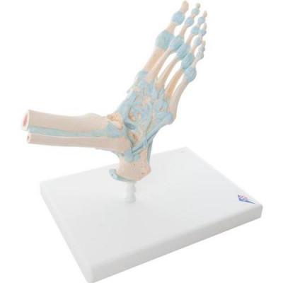 Modèle de squelette du pied avec ligaments