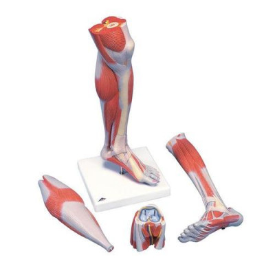 Muscles de la jambe, version luxe, en 3 parties - Anatomie et pathologie