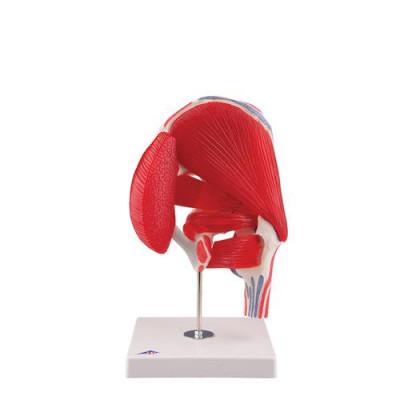 Articulation coxofémorale, 7 pièces - Anatomie et pathologie